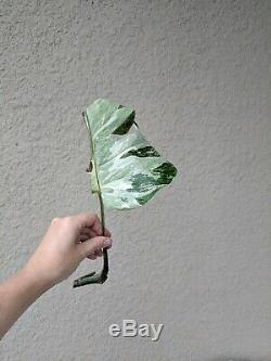 MINT Monstera VERY Rare Variegated Monstera Deliciosa Borsigiana Cutting Aroid